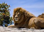 250px-Male_Lion_on_Rock