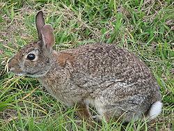 250px-Wild_rabbit_us