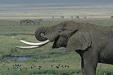220px-Tanzanian_Elephant