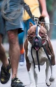 180px-Pit_bull_restrained
