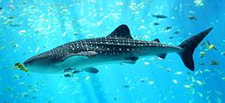 250px-Whale_shark_Georgia_aquarium