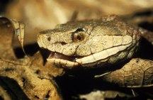 1600px-Copperhead_snake