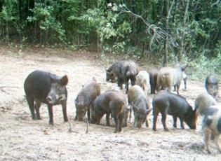 Canadian Invasion! Polite But Feral Pigs Moving Toward The Northern Border