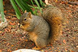 250px-Lightmatter_wild_squirrel