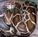 180px-Python_molurus_molurus_2