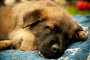 Sleeping Police dog puppy