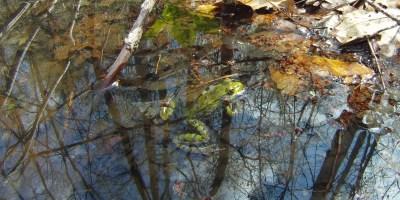 Frog in vernal pool