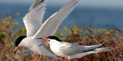 Roseate terns - Wikipedia, Palometas
