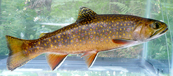 Brook Trout, Mass.gov