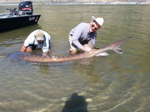 Ten feet of Hells's Canyon Sturgeon