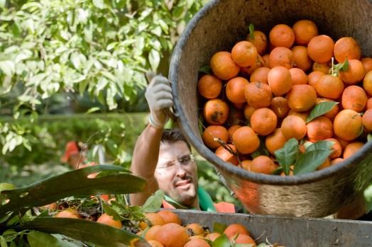 Ramasseur d'Oranges à Séville
