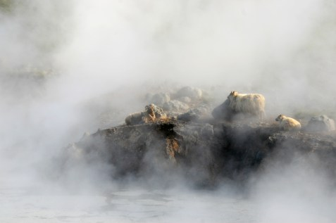 09iceland-sheep