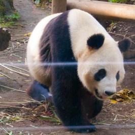 panda_2