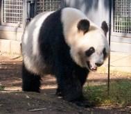 panda_5