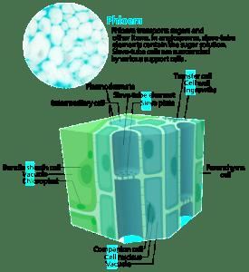 Kelvinsong wik Phloem_cells