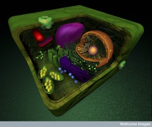 B0009545 Organelles in a eukaryotic plant cell, illustration
