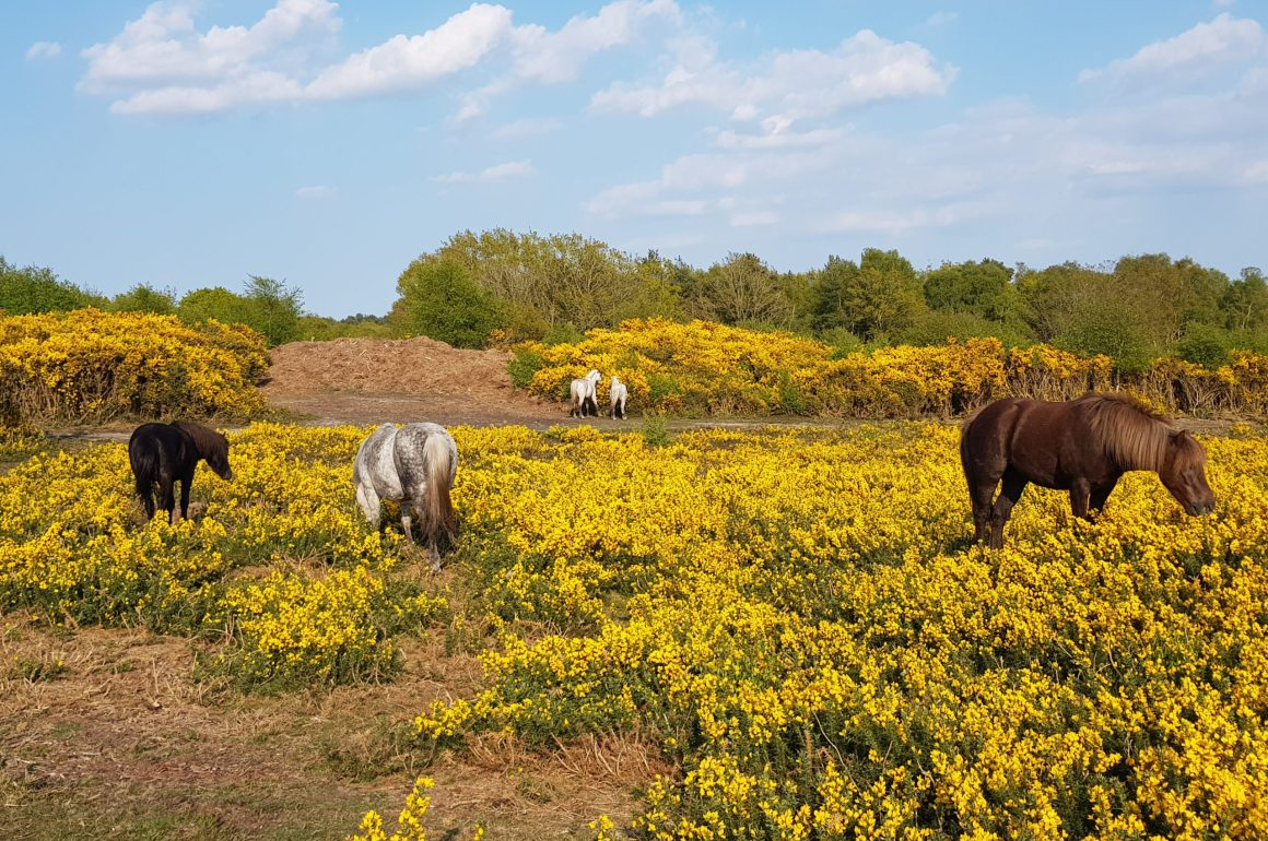 Horses at Holt Country Park