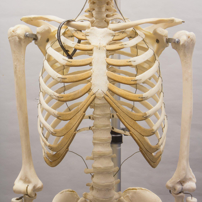 Free Photo Human Skeleton