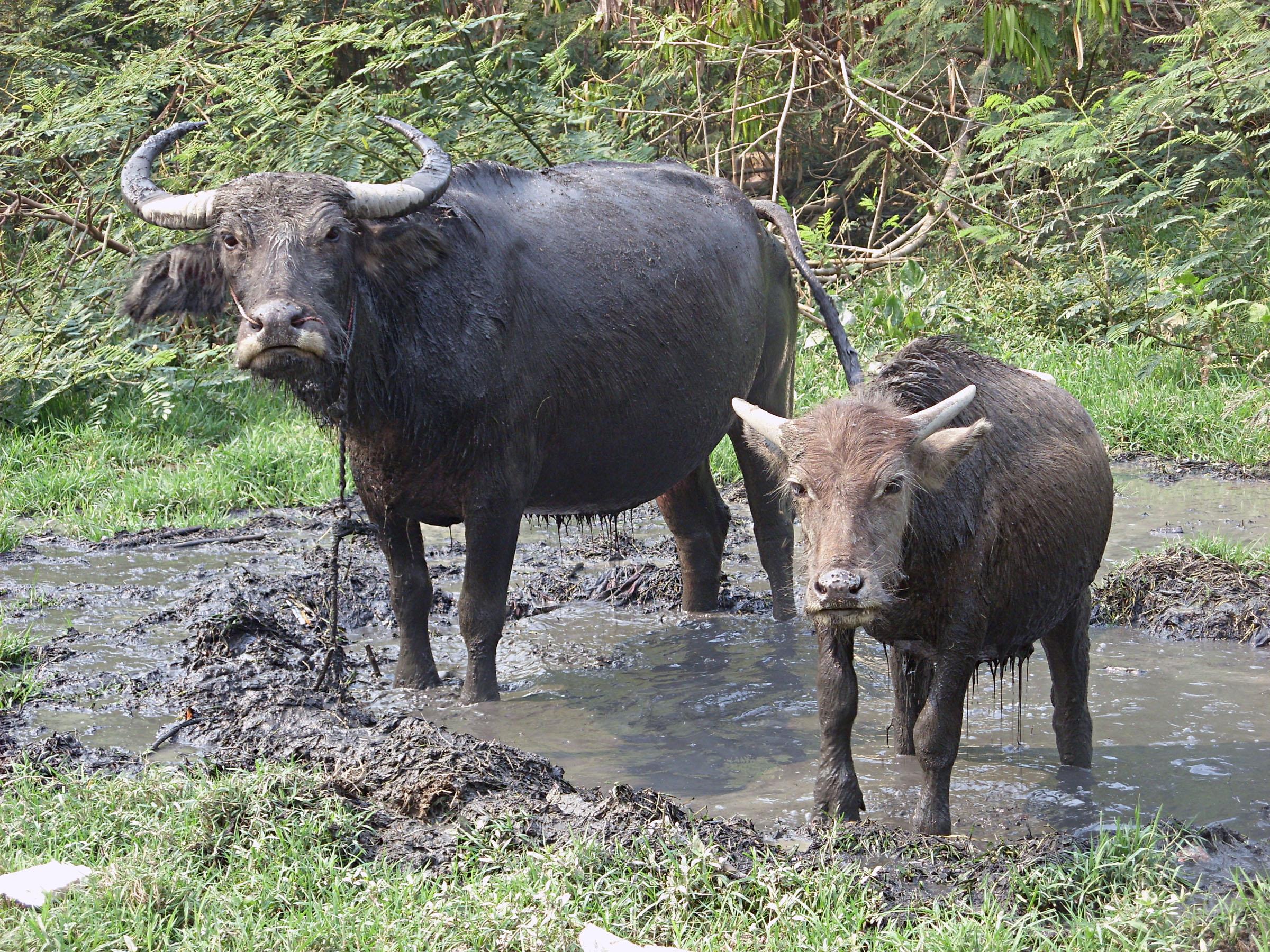 Free Photo Water Buffalo