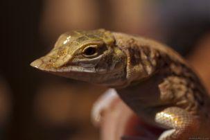 Shovel-Snouted Lizard2