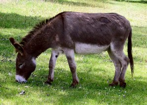 A photo of a cute donkey grazing