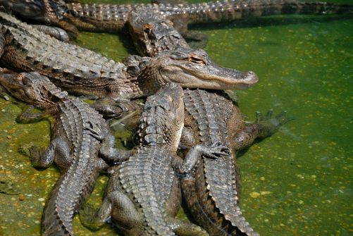 Six alligators sun themselves in shallow water