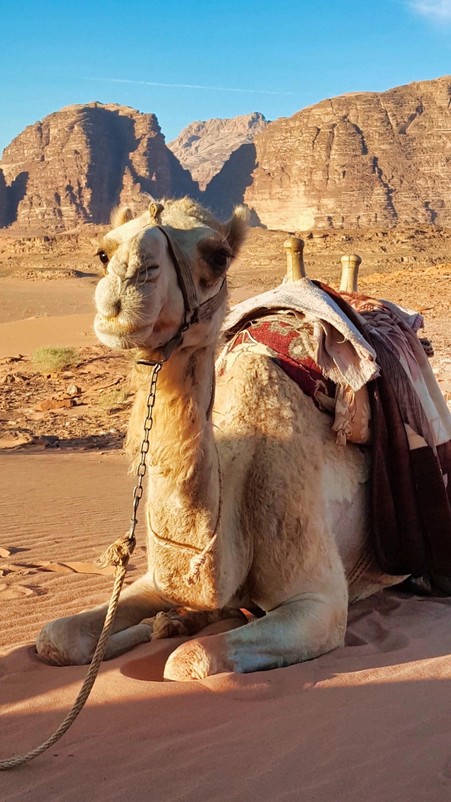 10 Days in Jordan - Up Close Camel
