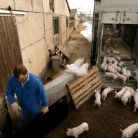 Danske vognmænd bryder regler for dyretransport