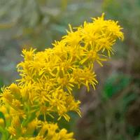 Planter skriger og advarer andre, når de bliver angrebet