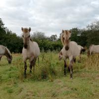 Hingsteføl  af vilde heste er omkommet i Tirsbæk Bakker
