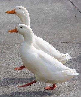 double duck