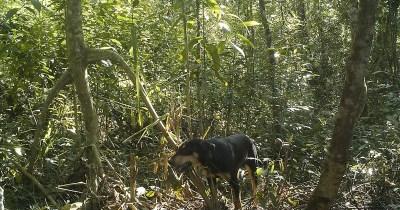 Presença de cachorros em florestas já supera a de outros animais carnívoros- Foto: Fernando Ribeiro