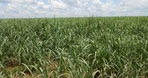 Trocar pastagem por cultivo de cana-de-açúcar não piora o solo