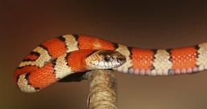 Estudo mostra como as cobras perderam as pernas ao longo da evolução