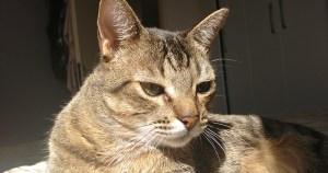 Faltam evidências de que o novo coronavírus possa infectar gatos