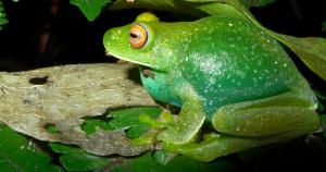 Pesquisadores descobrem complexo proteico azul que faz sapos ficarem verdes