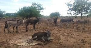 Abate de jumentos para exportação cresce 8.000% e ameaça a espécie no Brasil