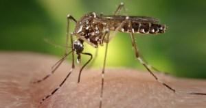 Proteína da saliva do mosquito da dengue tem potencial para tratar doenças inflamatórias intestinais