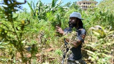 Photo of Maconha pode ter composto nobre e medicinal, diz presidente da Anvisa