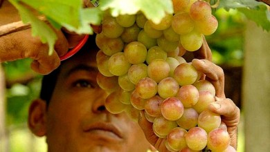 Photo of Chapada: Zoneamento garante acesso de produtores de uva da região ao crédito rural