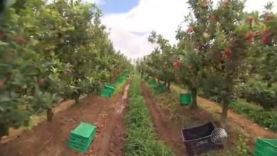 Photo of Chapada: Produção de maçã gera emprego e renda para população de Mucugê; confira vídeo