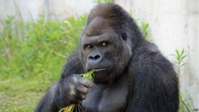 Photo of Mundo: Gorila em zoológico vira símbolo sexual no Japão; confira fotos