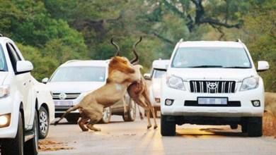 Photo of Mundo: Leões atacam antílope diante de turistas na África do Sul
