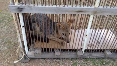 Photo of Chapada: Cerca de mil animais silvestres foram apreendidos na região de Itaberaba
