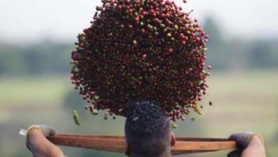 Photo of Safra de café em 2016 deve ser a segunda maior da história, estima Conab