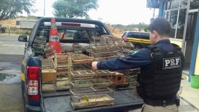 Photo of Chapada: PRF resgata pássaros silvestres na região do município de Itaberaba