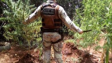 Photo of Comandante da Cipe-Chapada diz que nenhuma polícia conseguirá exterminar plantio de maconha
