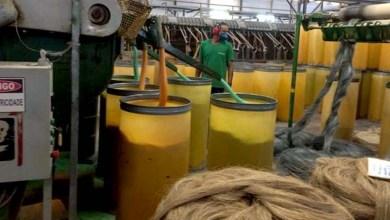 Photo of #Bahia: Chuva dá esperança a produtores de sisal no município de Valente