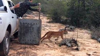 Photo of Chapada: Onça encontrada em Cafarnaum é solta no Parque Estadual do Morro do Chapéu