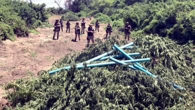 Photo of #Bahia: PM erradica mais de 25 mil pés de maconha durante operação em Abaré; veja fotos